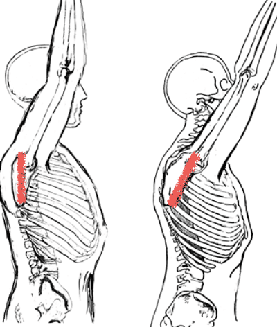 Thoracic extension allows the scapula to tilt posteriorly